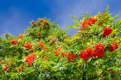 Rowan tree in August Stock Image