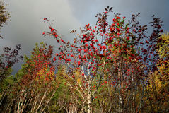 Rowan tree in autumn Stock Photos