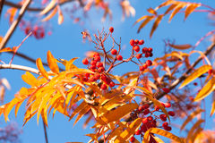 Rowan tree in autumn. Closeup view of rowan tree in autumn. Red ash berries and orange leaves against the background of clear blue sky Royalty Free Stock Images