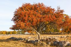 Rowan tree at autumn Stock Images