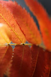 Rowan. Tree in autumn colors. One red leaf in closeup, short depth of field Stock Image