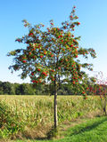 Rowan tree. In autumn with red rowanberries royalty free stock photos