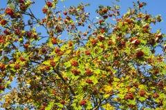 Rowan tree, autumnal harvest. Stock Photography