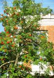 Rowan tree on a background of a brick building Royalty Free Stock Photo