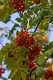 Rowan tree. Royalty Free Stock Photo