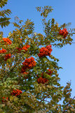 Rowan tree. Royalty Free Stock Photos
