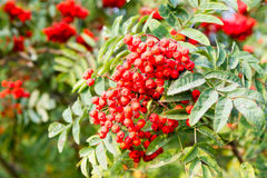 Rowan tree. Rowan berries on a branch close-up Royalty Free Stock Images