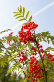 Rowan tree. Rowan berries on a branch close-up Stock Photography