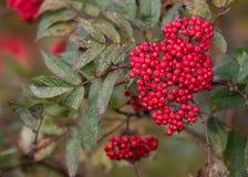 Rowan Tree Berries Royalty Free Stock Photo