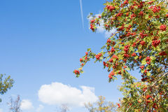 Rowan tree Stock Photos
