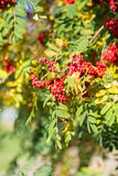 Rowan tree Royalty Free Stock Photography
