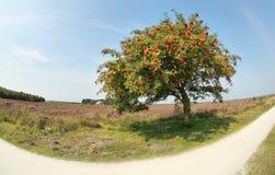 Rowan tree with berries on sunny day. Rowan tree with berries by road on sunny day royalty free stock image