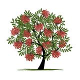 Rowan tree with berries for your design Royalty Free Stock Photo