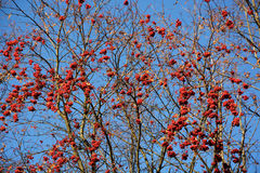 Rowan tree berry. Against blue sky as a background Stock Photography