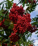 Rowan on a tree with a big bunch. Red ripe mountain ash on a tree on a bright, sunny day hanging from branches with large bunches of berries Stock Photography