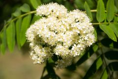 Branch of white rowan tree flowers. Rowan tree in bloom. Branch of white rowan tree flowers Royalty Free Stock Image