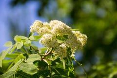 Rowan tree in bloom. Branch of white rowan tree flowers. Rowan tree in bloom. Branch of the white rowan tree flowers Royalty Free Stock Photos