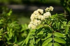 Rowan tree in bloom. Branch of white rowan tree flowers. Rowan tree in bloom. Branch of the white rowan tree flowers Royalty Free Stock Image