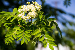 Rowan tree in bloom. Branch of white rowan tree flowers. Rowan tree in bloom. Branch of the white rowan tree flowers Stock Photos