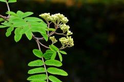 Rowan tree blossom. Rowan tree white blossom buts with green leaves on black royalty free stock photos