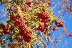 Rowan tree on blue sky background. In the fall Royalty Free Stock Photos