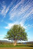 Rowan tree on blue sky Stock Photos
