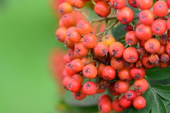 Rowan  tree brach Royalty Free Stock Photos