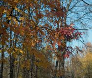 rowan tree branch outdoor autumn day blue sky royalty free stock photos