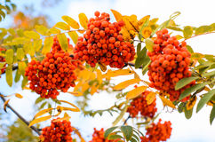 Rowan tree branch with red berries and yellow leaves. Stock Photography