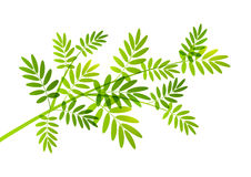Rowan tree branch. On white vector illustration