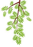 Rowan tree branch Stock Photos