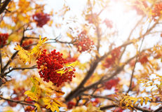 Rowan tree branches in autumn Royalty Free Stock Image