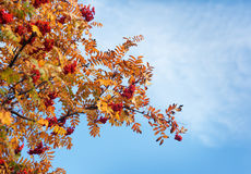 Rowan tree branches in autumn Royalty Free Stock Images