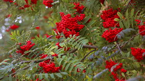 Rowan tree branches in autumn. Close up stock footage