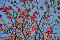 Rowan tree branches with fruit.  Stock Photo