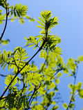 Rowan tree branches with leaves Royalty Free Stock Photo