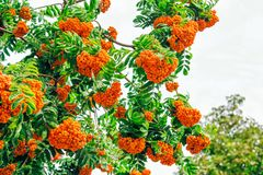 Rowan tree branches with ripe berries royalty free stock photo