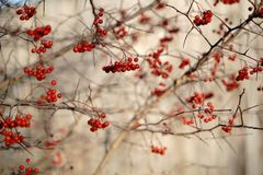 Rowan tree branches royalty free stock images