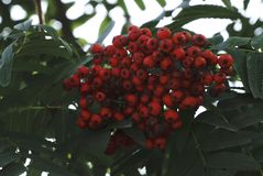 Rowan tree, close-up of bright rowan berries on a tree.  Stock Images