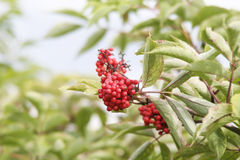 Rowan tree. Close-up of bright rowan berries on a tree on a sunny day Stock Image