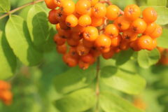Rowan. Tree, Close-up of bright  berries on a tree on a sunny day Stock Photo