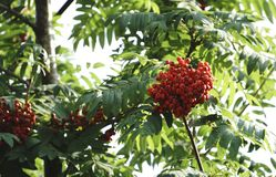 Rowan tree, close-up of bright rowan berries on a tree.  Royalty Free Stock Images
