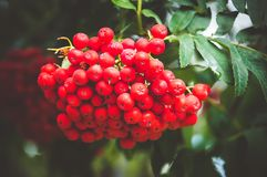 Rowan tree, close-up of bright rowan. Berries on a tree. Large orange berries on the tree closeup on a background of autumn leaves Stock Photo