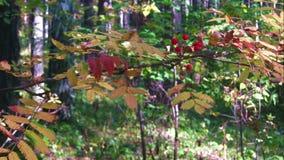 Rowan tree in the fall. stock footage