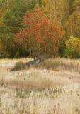 Rowan tree in a field Stock Photos