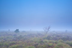 Rowan tree and flowering heather on misty swamp Stock Images