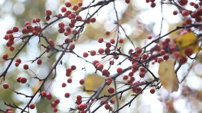 Rowan-tree is a fruit tree with bright orange fruits. Bright orange rowan berries on a branch stock video footage