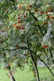 Rowan tree in garden Royalty Free Stock Photos