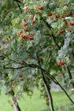 Rowan tree in garden. Close-up Royalty Free Stock Photos