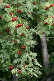 Rowan tree in garden Royalty Free Stock Photography